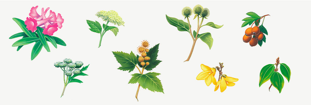 Herb illustrations for metabolife